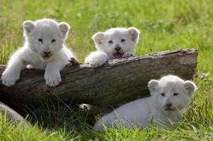 sirin aslanlar