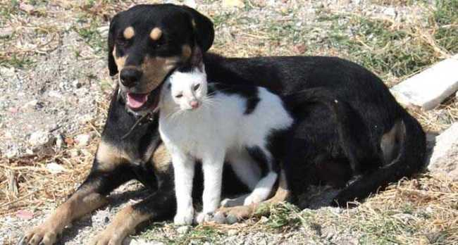 Kurt köpeğü Kedileri Emziriyor